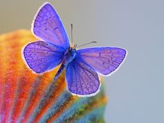 Insects Morphology: Xerces Blue Butterfly