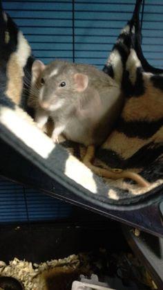 Caught Mia scratching #aww #cute #rat #cuterats #ratsofpinterest #cuddle #fluffy #animals #pets #bestfriend #ittssofluffy #boopthesnoot