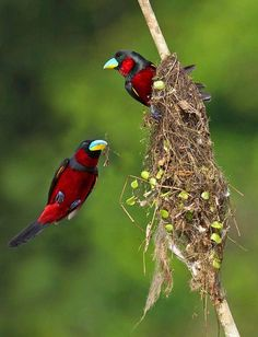 thats-earth:  Black and Red Broadbills building a nest