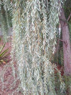 Weeping Diadora Cedar Weeping Evergreens Pinterest