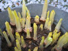 Growing Belgian Endive | Kitchen Gardeners International