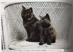 Chantilly - in 1997 Cat Fancy Issue Contributer: Sarah Hartwell Fancy Cats, Cat Breeds, Cats And Kittens, Album, Animals, Animales, Cat, Animaux, Cats