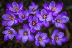 "A group of ""Deep Purple"" flowers  by Micha Mettier 