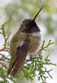 Hummingbird with a snowflake hat. Lookit the cuteness!  I mean just lookit this little guy, he's all puffed up and rounded and adorable!