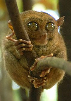 Tarsiers are primates of the most ugly order.    With disproportionately large eyes and long feet, they have trouble catching food and have adapted a strange, jumping action which they employ to good effect when seeking out a meal.