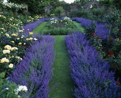 Lavander and Roses make a stunning statement in this formal garden.