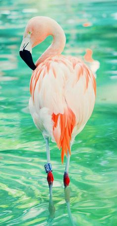 Amazing wildlife. Pink flamingo photo