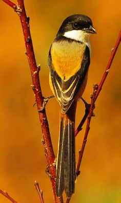 Long Tailed Shrike ( Lanius schach ) by Gary Kinard