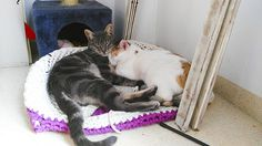 Heaven, gato Azul Ruso cruce con Tabby de ojazos verde mar esterilizado, nacido en Noviembre´14, en adopción. Valencia.