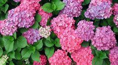 cuadros pintados con hortensias - Google Search Vegetables, Google, Plants, Hydrangeas, Vegetable Recipes, Plant, Veggies, Planets