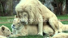 White Lions mating: 43sec (135M) - wildlife HD Stock VIDEO footage