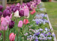 Tulip Displays in Arkansas   Allens Blog - P. Allen Smith Garden Home
