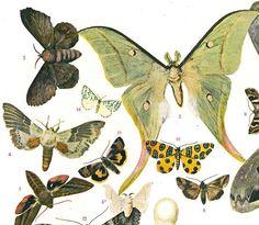 Moths Vintage Print 1923 by carambas on Etsy, $16.00