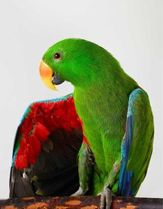 'Oscar' Eclectus Parrot outtake by Leila Jeffreys | Yellowtrace