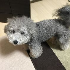 「昨年の今日、お父ちゃんが痛風に倒れたから、今日はわが家の痛風記念日」 #dog#犬#ワンコ#dogstagram#poodle#toypoodle#愛犬#ペット#pet#silverpoodle#silvertoypoodle#プードル#トイプードル#息子#シルバートイプードル#家族#family#son#ilovemydog#dog#犬#ワンコ#dogstagram#poodle#toypoodle#愛犬#ペット#pet#silverpoodle#silvertoypoodle#プードル#トイプードル#息子#シルバートイプードル#家族#family#son#ilovemydog#痛風