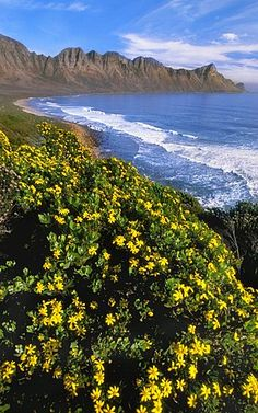 Coastline with flowering tickberry, Chrysanthemoides monilifera, near Cape Town, South Africa Adventure Photos, Adventure Travel, Most Beautiful Beaches, Beautiful Places, Beautiful Flowers, Frans Lanting, Beaches In The World, Nature Tree, Africa Travel