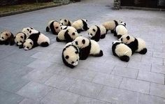 Naptime for panda cubs!