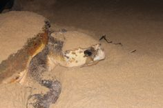 At Sodwana Bay Lodge they have Loggerhead Turtles breed on the same beach where they hatched from 20 years ago.    They lay plus minus 120 eggs per visit and visits around 10 times in their cycle.    Hatchlings takes 77 days to emerge and have a 1-1000 chance of survival due to man, crabs, birds and fish.  Breeding season Nov – Jan Turtle Breeds, Loggerhead Turtle, Bay Lodge, Fish Breeding, Thing 1, My Land, Crabs, 20 Years, Turtles