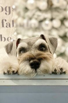Adorable Puppies, Cute Dogs And Puppies, Adorable Animals, I Love Dogs, Puppy Love, Schnauzer Puppy, Miniature Schnauzer, Schnauzers, Standard Schnauzer