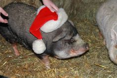 Daisy says Merry Christmas to you and your family from McMillan Farms. Merry Christmas To You, Farms, Daisy, Animals, Homesteads, Animales, Animaux, Margarita Flower, Daisies