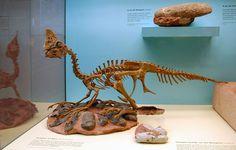 Plus de 20 ans après sa découverte, le John Doe du monde des dinosaures possède enfin son nom scientifique. Grâce à «Baby Louie», un foetus fossilisé découvert en 1993 par Charles Magovern, les scientifiques ont pu identifier...