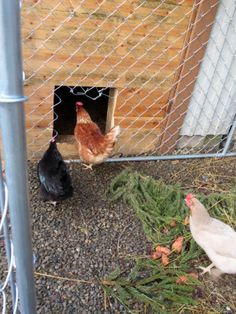 My chickens... Green Gables