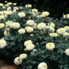 Snowball hybrid marigold seeds and plants annual flower garden at guess what swallowtailgardenseeds has white marigold seeds what i didn mightylinksfo