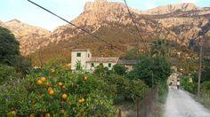 Farmhouse,  orange grove, and majestic mountains of Mallorca as seen approaching Ecovinyassa.