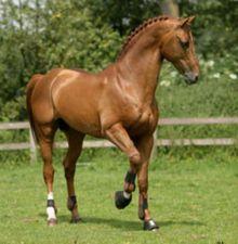 Chestnut - Pictured is Nassau; KWPN (Dutch) stallion in Netherlands