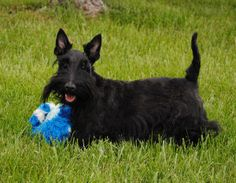 Leah is an adoptable Scottish Terrier Scottie Dog in Kansas City, MO. Leah is a black 5 yr. old sweetheart! Leah and her father were turned into rescue when her owner moved out of the country. She LOV...