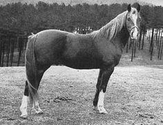 IBN HANAD #4165 (Hanad x Gamil, by Kasar) 1947 chestnut stallion bred by John W. Douthit; sired 30 registered purebreds