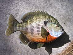 3 1/2 lb Blue gill Replica for sale | FishingBuddy