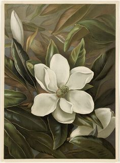 Magnolia Grandiflora by Boston Public Library on Flickr.  Magnolia Grandiflora published (1861 -1897) painted by Alicia H. Laird.