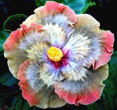 Hibiscus of Moorea Moorea Melissa N. (M. Anastasya x T. Sophistication) <3