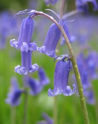Bluebells are associated with fairies, it is said that the fairies ring these tiny bells to summon their people to the fairy convention.