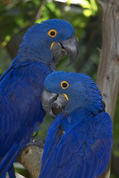 Hyacinth Macaws at the San Diego zoo (11/22/05)