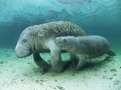 Mom and baby manatees ..
