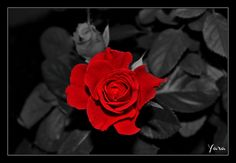 Red rose by yara GB on 500px