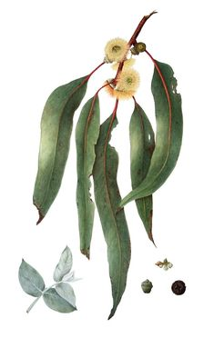 'Eucalyptus globulus - Southern Bluegum' by Cheryl Hodges Tree Illustration, Floral Illustrations, Botanical Illustration, Australian Wildflowers, Australian Flowers, Eucalyptus Globulus, Eucalyptus Leaves, Leaf Drawing, Plant Drawing