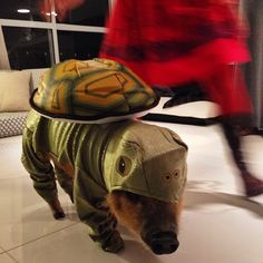 Turtle Pig - 16 Pets That Don't Care About Your Dog's Halloween Costume