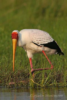 The Yellow-billed Stork Mycteria ibis) is a large wading bird. It occurs in Africa south of the Sahara and in Madagascar.