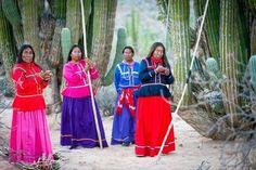 Seri women picking Pitahayas