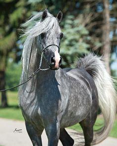 Master Jullyen V (US) 2009 Grey stallion. Jullyen El Jamaal {Ali Jamaal x Jullye El Ludjin by Ludjin El Jamaal} x Misti Morn V {Audacious PS x Misti V by Bravado Bey V} Bred by Varian Arabians, USA. Owned by Dave and Terri May, USA.
