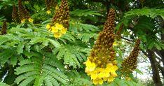 Sibipiruna é usada na arborização de ruas das cidades do Sudeste do País