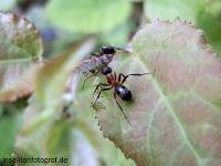 Rote Waldameise (Formica rufa)