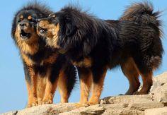 fiche dogue du tibet chien mastiff tibetain