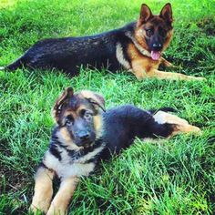 Holly and Reagan von Highlander Highlander German Shepherds German Shepherds, German Shepherd Dogs, Schaefer, Therapy Dogs, My Best Friend, Corgi, Puppies, Awesome, Places