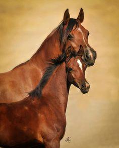 Egyptian Arabian horse and foal Baby Horses, Cute Horses, Horse Love, Most Beautiful Animals, Beautiful Horses, Beautiful Creatures, Egyptian Arabian Horses, Majestic Horse, Horse World