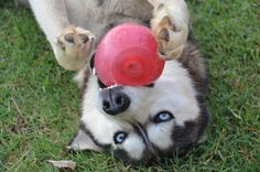 Sam playing with his red ball By David Daugherty