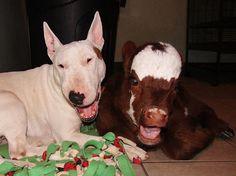 Após ser resgatada de leilão, mini vaca trata cães como se fossem seus iguais